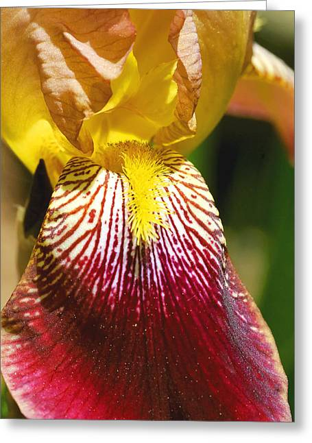 Stamen Greeting Cards - Yellow Red Iris Flower Greeting Card by Keith Webber Jr