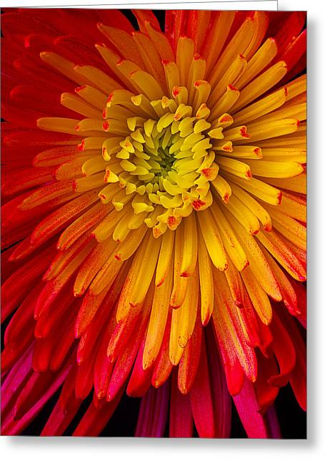 Red Bouquet Greeting Cards - Yellow Red Spider Mum Greeting Card by Garry Gay