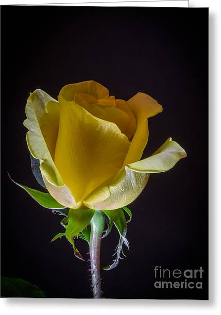 Wedding Salon Greeting Cards - Yellow Rose 1 Greeting Card by Mitch Shindelbower