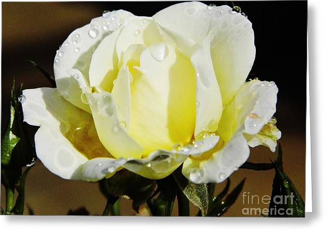 Moisture On Plants Photographs Greeting Cards - Yellow Rose Dew Drops Greeting Card by D Hackett