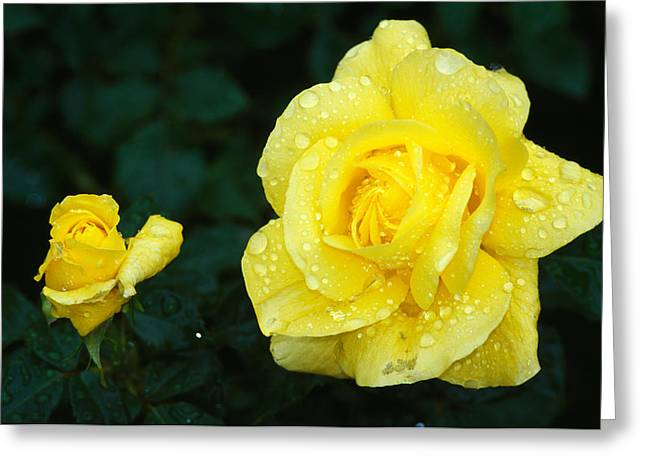 Two By Two Greeting Cards - Yellow Rose Flowers Blooming, Close Up Greeting Card by Panoramic Images