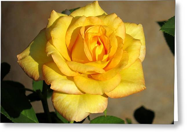 Yellow Rose I Greeting Card by Zina Stromberg