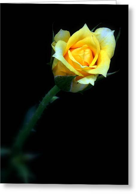 Roze Greeting Cards - Yellow Rose Greeting Card by Nick Mares
