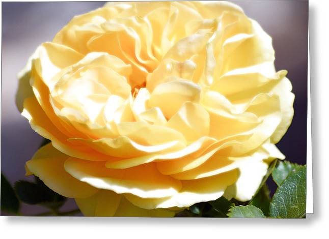 Yellow Rose Of Texas Floral Decor Square Format Diffuse Glow Digital Art Greeting Card by Shawn O'Brien