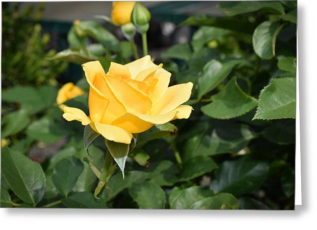 Les Fleurs Greeting Cards - Yellow Rose of Texas Greeting Card by Linda Troski