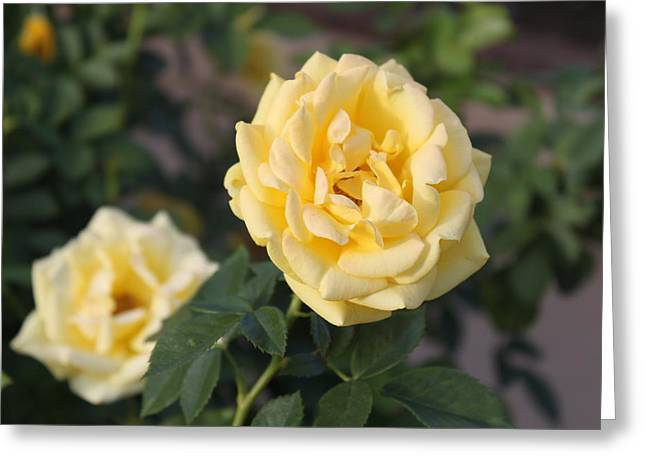 Valerie Broesch Greeting Cards - Yellow Roses Greeting Card by Valerie Broesch