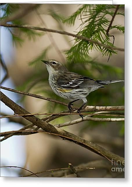 Rumpled Greeting Cards - Yellow-rumped Warbler Greeting Card by Anne Rodkin