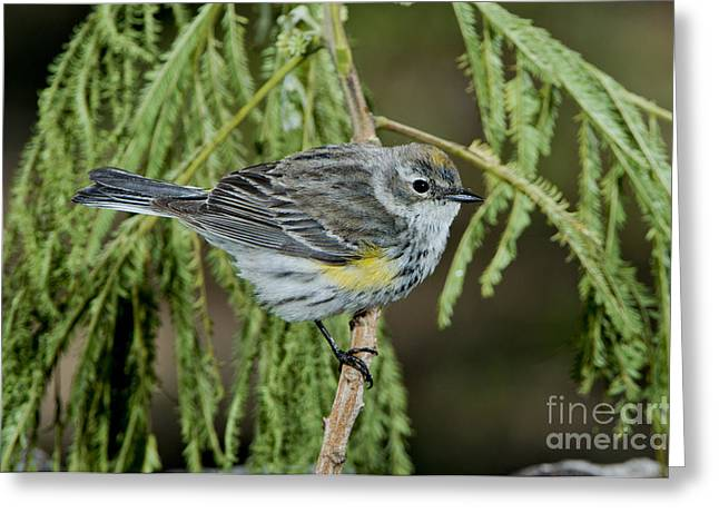 Setophaga Greeting Cards - Yellow-rumped Warbler Greeting Card by Anthony Mercieca