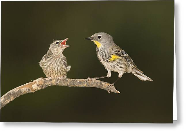 Setophaga Greeting Cards - Yellow-rumped Warbler Chick Begging Greeting Card by Tom Vezo