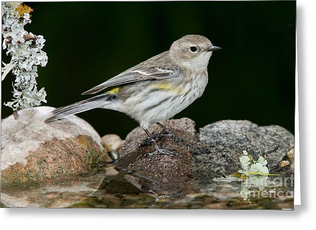 Setophaga Greeting Cards - Yellow-rumped Warbler Hen Greeting Card by Anthony Mercieca