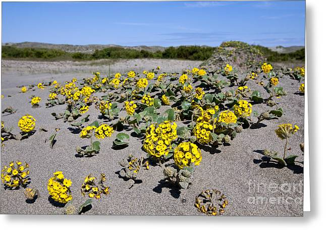 Nyctaginaceae Greeting Cards - Yellow Sand Verbena Greeting Card by Gregory G. Dimijian, M.D.