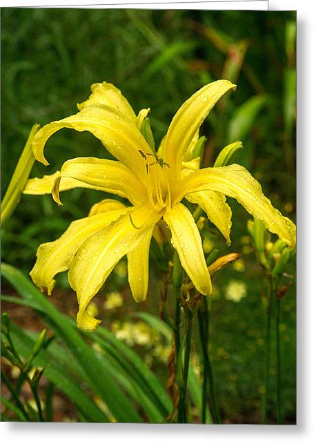 Tendrils Greeting Cards - Yellow Spider Lily Greeting Card by Douglas Barnett