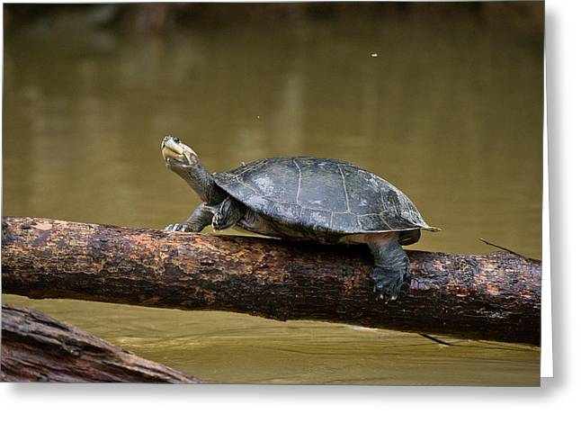 Yellow-spotted River Turtle (podocnemis Greeting Card by Pete Oxford