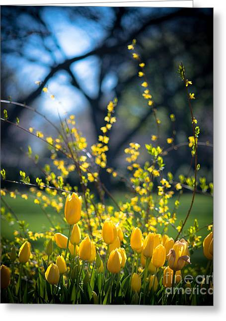 Dallas Arboretum Greeting Cards - Yellow Spring Blooms Greeting Card by Sonja Quintero