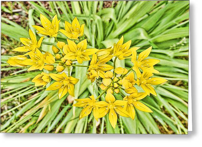 Yelllow Greeting Cards - Yellow Star Flowers Greeting Card by Cathy Anderson