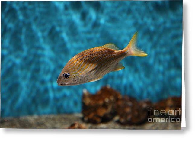 Aquarium Fish Greeting Cards - Yellow Striped Fish 5D25077 Greeting Card by Wingsdomain Art and Photography