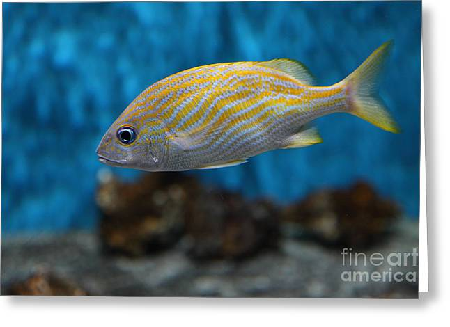Aquarium Fish Greeting Cards - Yellow Striped Fish 5D25082 Greeting Card by Wingsdomain Art and Photography