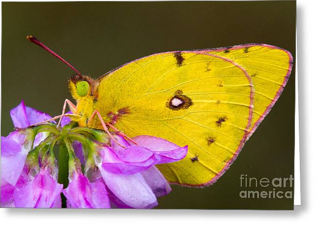 Sulfur Greeting Cards - Yellow Sulfur Butterfly Greeting Card by Todd Bielby