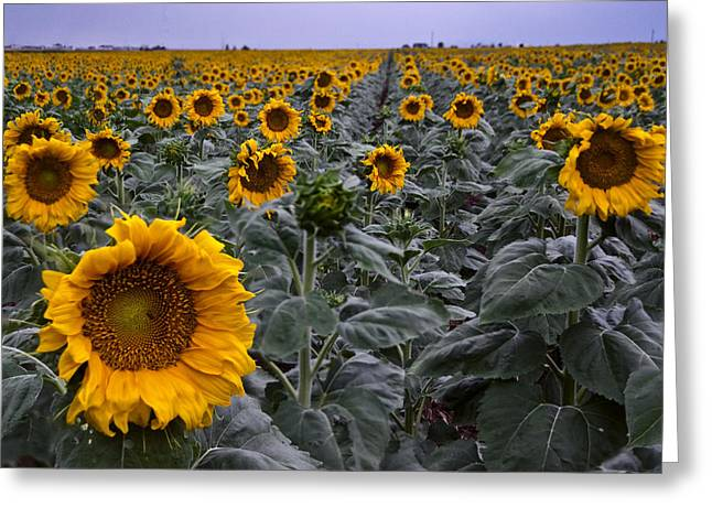 Yellow Sunflower Field Greeting Card by Dave Dilli