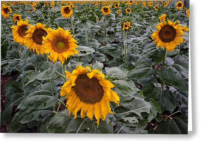 Droopy Greeting Cards - Yellow Sunflower Fields Greeting Card by Dave Dilli