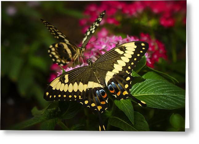 Yellow Swallowtail Butterflies  Greeting Card by Saija  Lehtonen