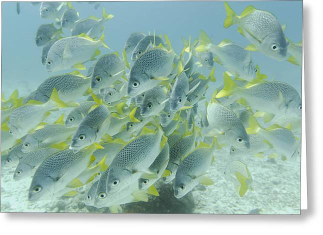 Grunts Photographs Greeting Cards - Yellow-tailed Grunt Fish Anisotremus Greeting Card by Keith Levit