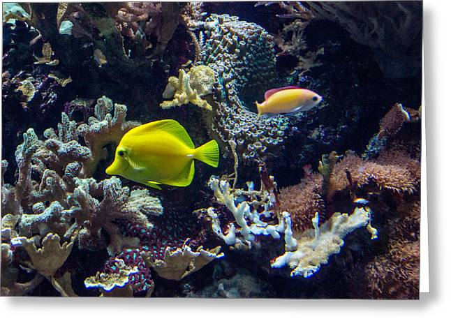 Acanthuridae Greeting Cards - Yellow Tang Greeting Card by Douglas Barnett