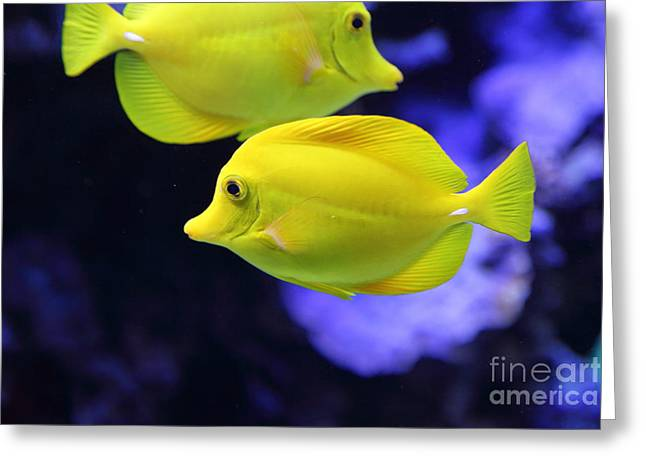 Aquarium Fish Greeting Cards - Yellow Tang Tropical Fish 5D24880 Greeting Card by Wingsdomain Art and Photography