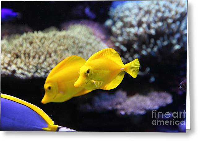 Aquarium Fish Greeting Cards - Yellow Tang Tropical Fish 5D24887 Greeting Card by Wingsdomain Art and Photography