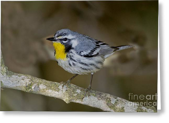 Setophaga Greeting Cards - Yellow-throated Warbler Greeting Card by Anthony Mercieca