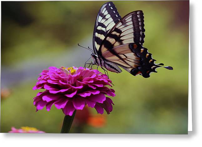 Nature Scene Greeting Cards - Yellow Tiger Swallowtail Butterfly Greeting Card by Kay Novy