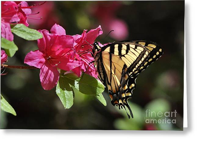 Azalias Greeting Cards - Yellow Tiger Swallowtail Butterfly Greeting Card by Nava  Thompson