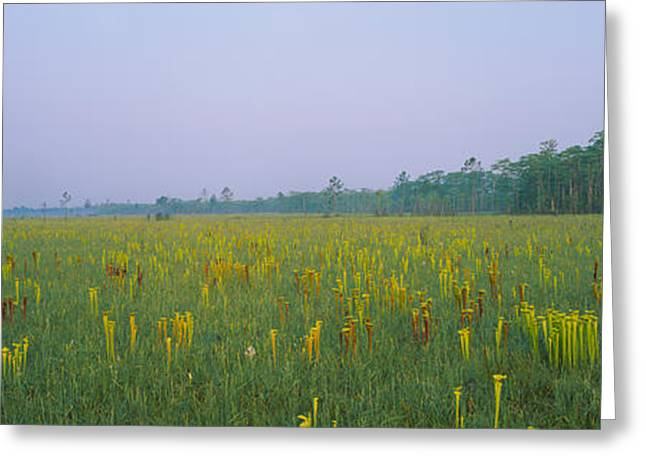 Apalachicola Greeting Cards - Yellow Trumpet Pitcher Plants In A Greeting Card by Panoramic Images