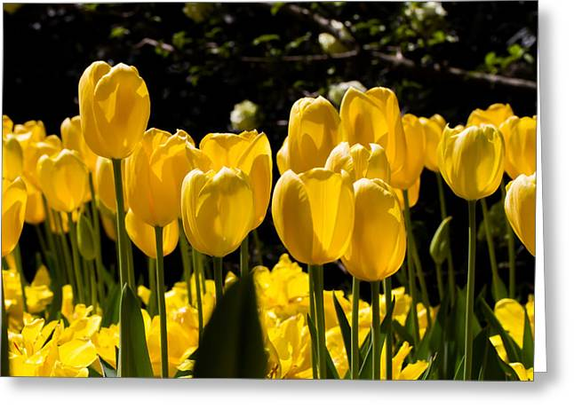 Cheekwood Greeting Cards - Yellow Tulip Attention Greeting Card by Paula Ponath
