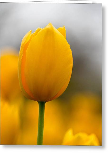 Spring Bulbs Greeting Cards - Yellow Tulip Greeting Card by Meredith Butterfield