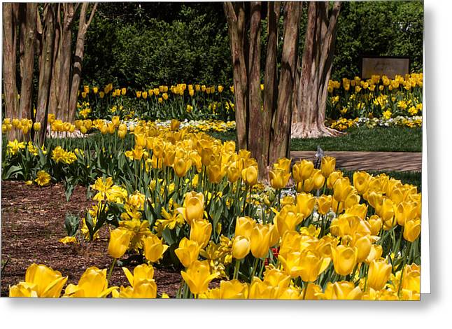 Yellow Tulip Pathway Greeting Card by Paula Ponath