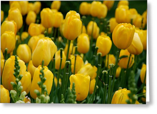 Yellow Flowers Greeting Cards - Yellow Tulip Sea Greeting Card by Jennifer Lyon