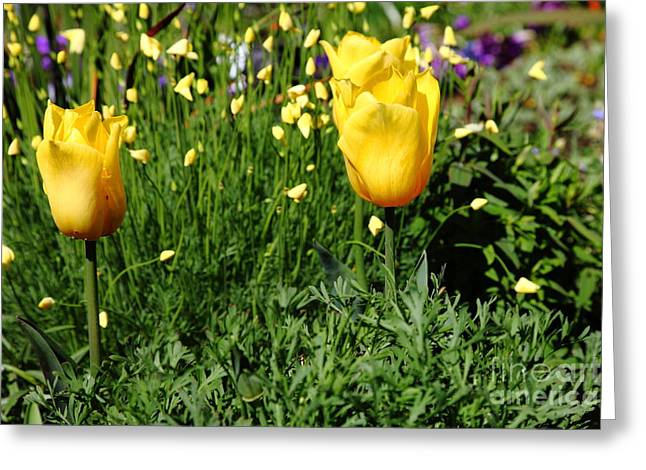 Yellow Tulips 5d22445 Greeting Card by Wingsdomain Art and Photography