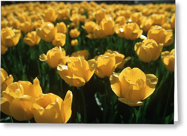 March Greeting Cards - Yellow Tulips Greeting Card by Evgeny Govorov