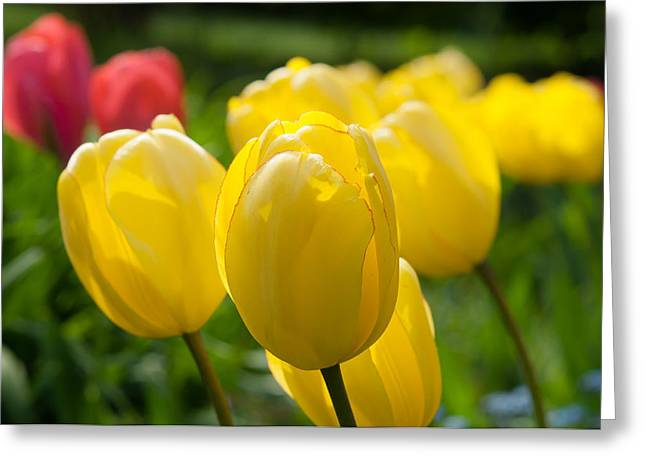 Flovers Greeting Cards - Yellow tulips Greeting Card by Iryna Soltyska