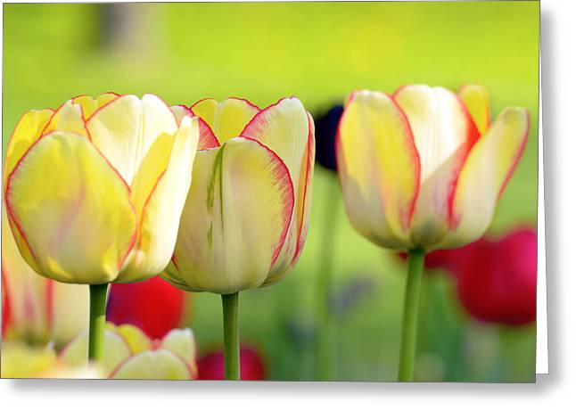 Bokhe Greeting Cards - Yellow tulips Greeting Card by Toppart Sweden