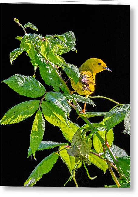 Warbler Greeting Cards - Yellow Warbler Greeting Card by Bill  Wakeley
