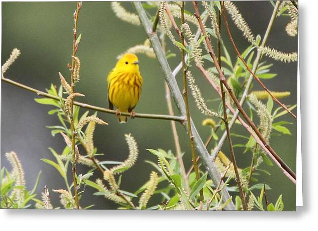 Wildlife Refuge. Greeting Cards - Yellow Warbler Greeting Card by Dan Sproul