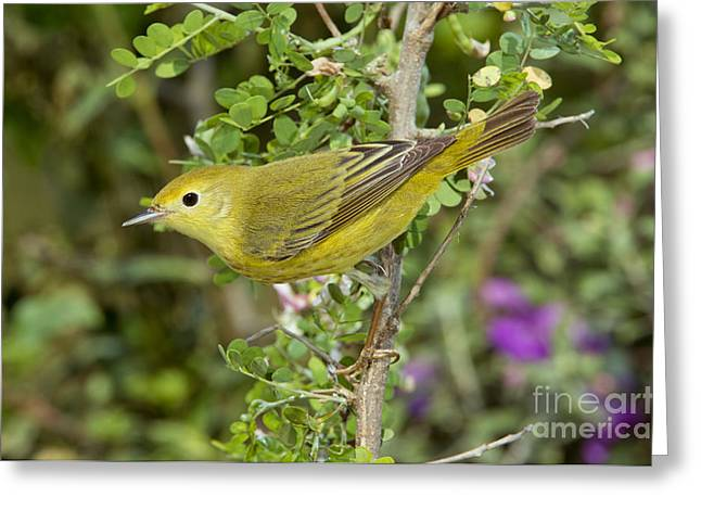 Setophaga Greeting Cards - Yellow Warbler Hen Greeting Card by Anthony Mercieca