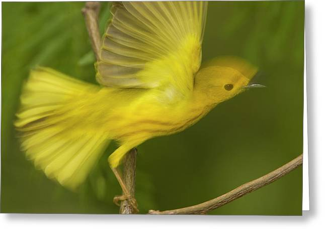 Warbler Greeting Cards - Yellow Warbler Male Taking Flight Greeting Card by Tom Vezo