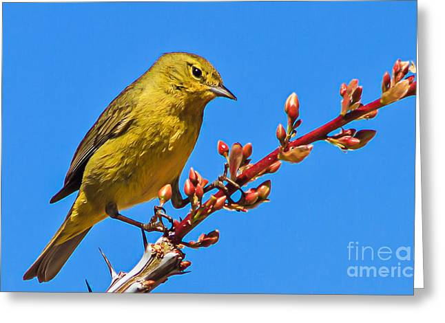 Yellow Warbler Greeting Card by Robert Bales