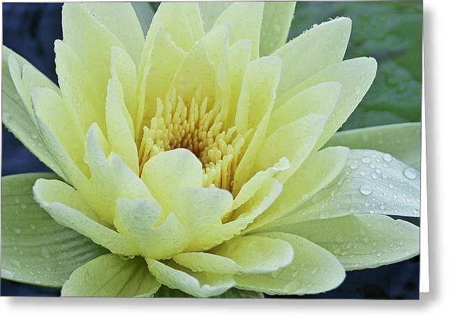 Yellow Water Lily Nymphaea Greeting Card by Heiko Koehrer-Wagner