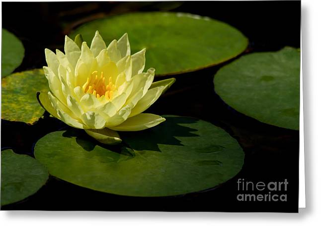 Florida Flowers Greeting Cards - Yellow Water Lily Sitting Pretty Greeting Card by Sabrina L Ryan