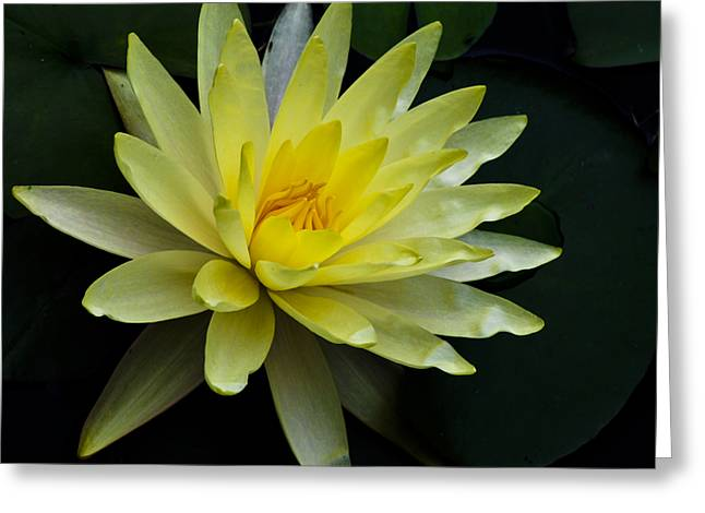 Expanding Light Greeting Cards - Yellow Waterlily Greeting Card by Christi Kraft