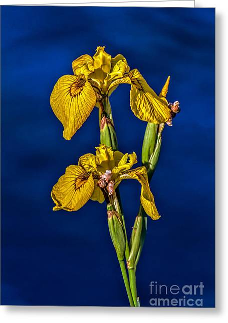 Monocots Greeting Cards - Yellow Wild Iris Greeting Card by Robert Bales